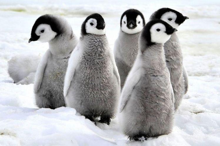 Ανταρκτική: Πεθαίνουν από την πείνα χιλιάδες νεοσσοί πιγκουίνοι