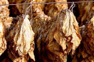 «Στροφή» στον βιολογικό καπνό – Στα 5.000 στρέμματα η μέχρι τώρα καλλιέργειά του