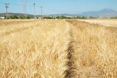 USDA: Η ζήτηση για σιτηρά θα υπερβεί την προσφορά το 2018, ευκαιρία αύξησης των εξαγωγών για τα κράτη μέλη της Ευρωπαϊκής Ένωσης