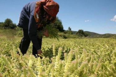 Δρομολογείται η πρωτοβουλία για την καλλιέργεια αρωματικών – θεραπευτικών φυτών,…